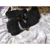 Oferta: Conejos Enanos Y Enano Holades