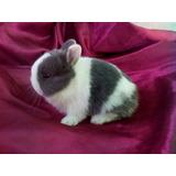 Hermosos Conejos (netherland Dwarf) Enano Holandes 100% Puro
