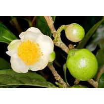 20 Semillas Camellia Sinensis Te Verde Importadas: $160.00