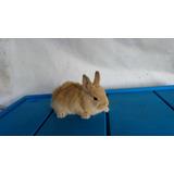 Increíbles Conejos Para Mascota Mini (enano) Oferta