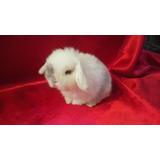 Hermosos Conejos Belier (mini Lop)