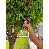 Hermosos Cachorritos Pug Negros