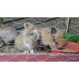 Vendo Conejos Cabeza De Leon
