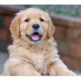 Golden Retriever Cachorros  Super Calidad Vip