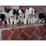 Vendo Hermosos Cachorros Border Collie
