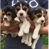 Beagle Cachorros Hermosos