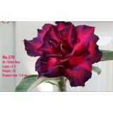 30 Semillas Adenium Obesum, Rosa Del Desierto De Taiwan