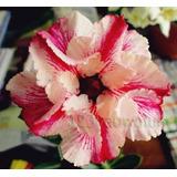 Rosa Del Desierto Double Mandrake ( 1 Planta)