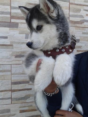Huskys Siberianos