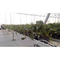 30 Plantas De Fresa Fertilizante Enraizador Macetas Y Tierra
