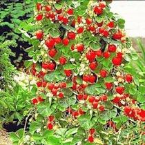 Semillas Fresas Escalonadas