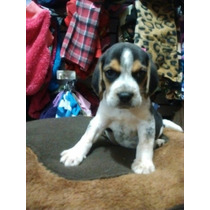Beagle Macho Disponible