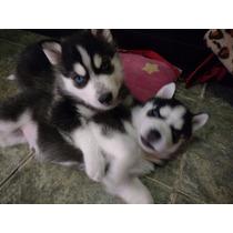 Huskies Siberianos 6 Semanas Con Carnet Y Primer Vacuna.