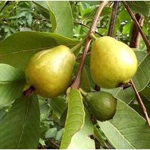1 Arbol De Guayaba Pera Psidium Guajava