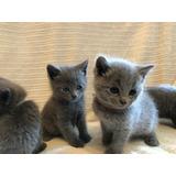 Cachorros De Gato Azul Ruso En Oferta A Meses Sin Intereses