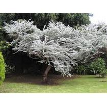 1 Arbol De Dolar, Eucalyptus Cinerea Arbolitos En Venta