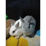 Conejos Enanos Hermosos En Querétaro