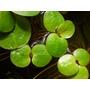 Plantas Acuáticas En Maceta Cryptocoryne Parva, Undulata