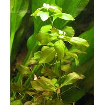 Hermosas Plantas Acuàticas A $30 Cada Especie.