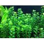 Amania Bonsai 4 Tallos Plantas Acuario
