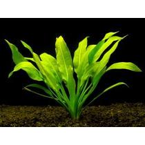 Amazonas 5 Plantas Acuaticas Con Raices Dvn