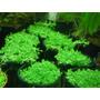 Plantas Acuáticas En Maceta Hemianthus Cuba, Glossostigma
