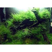 Planta Acuàtica Musgo De Java A Tan Solo $50, Super Oferta.