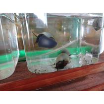 Caracol Manzano Azul 1 X $40.00 Fotos Reales