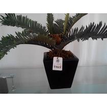 Planta Cica