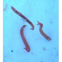 Alimento Vivo Bloodworm, Lombriz Roja, Gusano Larva Mosquito