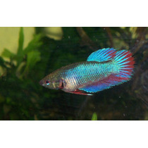 Betta Hembra Y Betta Macho Colores Varidos De Mayoreo