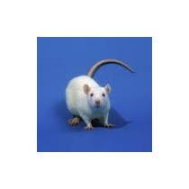 Alimento Vivo Rata Blanca Y Long Evans 10 Unidades