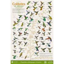 Poster Colibries De Mexico Y Norteamerica - Envio Gratis
