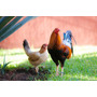 Gallos Para Combate Y Pie De Cria Semental Sweater