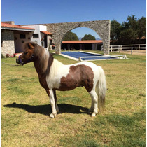 Hermoso Pony Shetland Color Pinto
