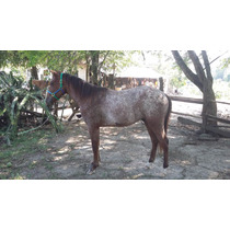 Potrillo Appaloosa