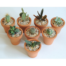 Cactus De Colección, Miniatura, Plantas Suculentas