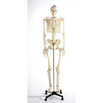 Esqueleto Humano Modelo Anatomico Tamaño Real Hm4