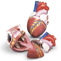 Corazón Jumbo Tamaño: 8 X 8 X 11-3 / 4 Modelo Anatómico.