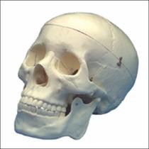 Cráneo Para Diagnóstico Modelo Anatómico