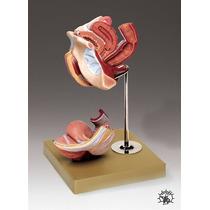 Modelo Órganos Genitales Femeninos Tamaño: 7 X 7 -1/2 X 10