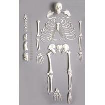 Completo, Desarticulado Esqueleto Humano De Tamaño Natural A