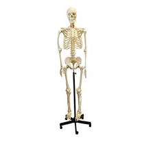 Premium De Tamaño Natural Modelo Del Esqueleto Humano (62 A