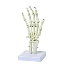 Walter Productos B10210 Modelo Del Esqueleto De Mano Humana
