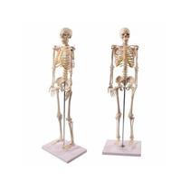 Wellden Producto Modelo Anatómico Esqueleto Humano 1/2 Vida