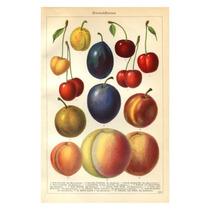 Cuadro Frutas Del Paraíso Ii Grabado Alemán 1890 48 X 33 Cm