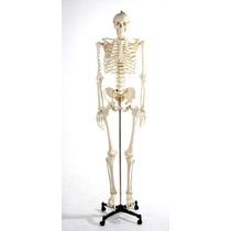 Esqueleto Humano Modelo Anatomico Tamaño 1.8m Hm4