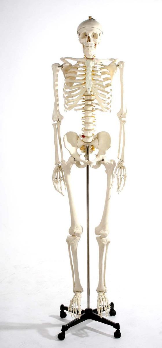 Esqueleto Humano Modelo Anatomico Tamaño 1.8m Vv4 - $ 5,860.00 en ...