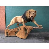 Animales Disecados 100% Artificiales. Leon Africano