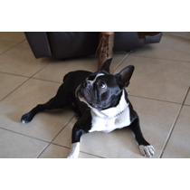 Boston Terrier Para Monta, Cpr, Chip Y Tatuaje Fcm
